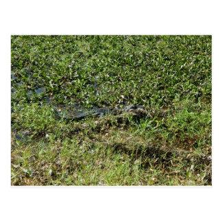 Louisiana Swamp Alligator in Jean Lafitte Postcard