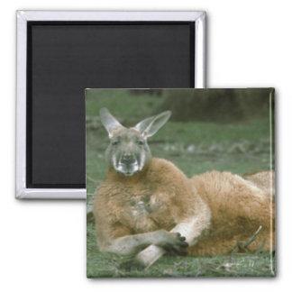 Lounging Kangaroo 2 Inch Square Magnet