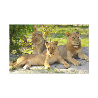 Lounging Lions Canvas Print