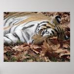 Lounging Tiger Poster