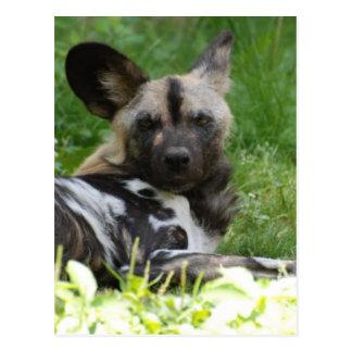Lounging Wild Dog Postcard