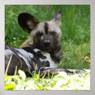 Lounging Wild Dog Poster