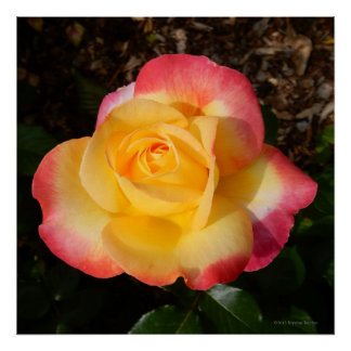 Love and Peace Yellow Rose Photo Square Poster