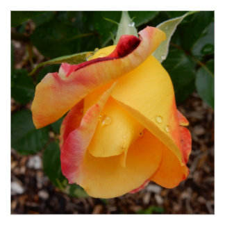 Love and Peace Yellow Rosebud Photo Square Poster