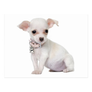 Love Chihuahua Puppy Dog Post Card