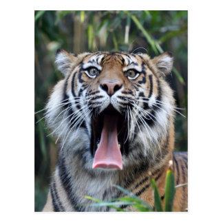 Love hunger Sumatran tiger Postcard