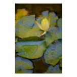 Love in A Water Lily Poster
