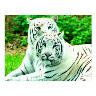 Love peace and joy White tigers stukenbrock Postcard