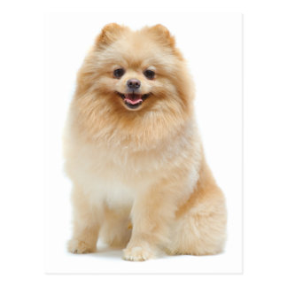 Love Pomeranian Puppy Dog Blank Post Card