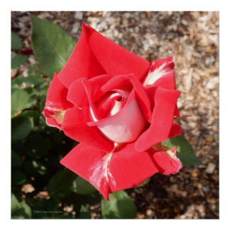 Love Red and White Rosebud Photo Square Poster