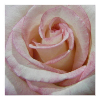 Love s First Blush Rose Poster