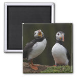 Love Song Puffins 2 Inch Square Magnet