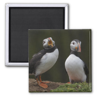 Love Song Puffins Fridge Magnets