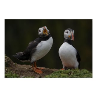 Love Song Puffins print