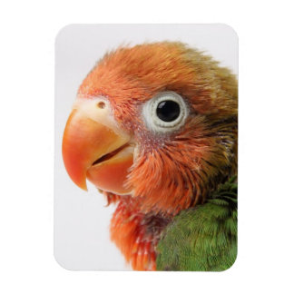 Lovebird chick on white background. magnets