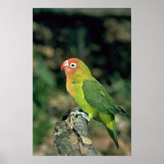 Lovebird de Lilians Impresiones
