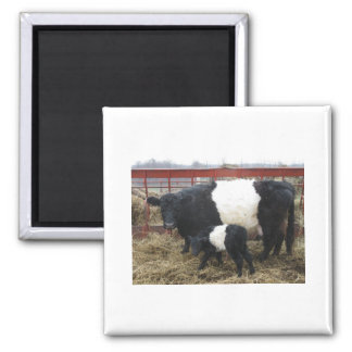 Lovely Beltie Cow and Calf Magnet