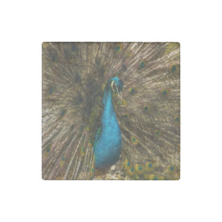 Lovely Blue Peacock with Open Tail Feathers Stone Magnet