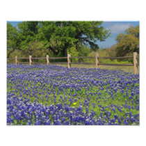 Lovely Bluebonnets in Texas Photo Print