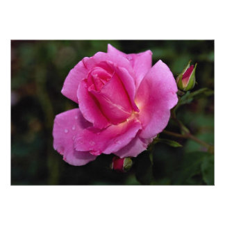 Lovely Carefree Beauty Shrub Rose Bucbi Personalized Announcement