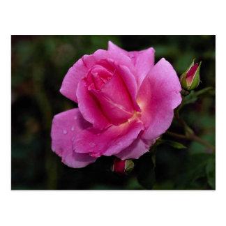 Lovely Carefree Beauty Shrub Rose 'Bucbi' Postcard