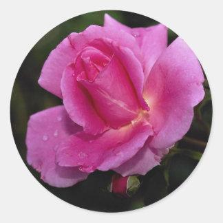 Lovely Carefree Beauty Shrub Rose 'Bucbi' Round Sticker