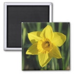 Lovely Daffodil 2 Inch Square Magnet