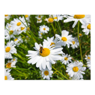 Lovely daisies and a bee postcard