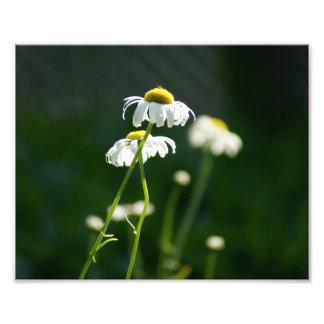 Lovely Daisy 10 x 8 Photographic Print