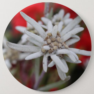 Lovely Edelweiss Leontopodium nivale Button