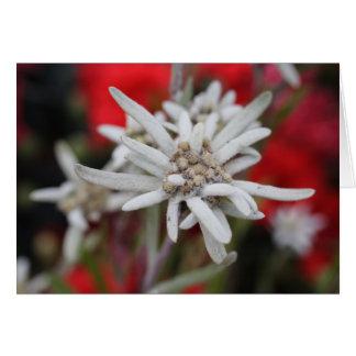 Lovely Edelweiss Leontopodium nivale Card