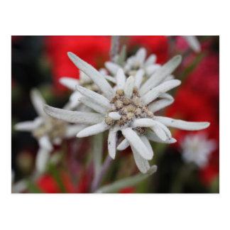 Lovely Edelweiss Leontopodium nivale Postcard