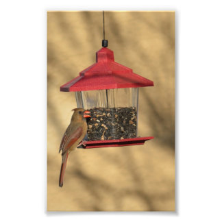 Lovely female Cardinal at a feeder Photo Print