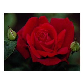 Lovely Hybrid Tea Rose 'Chrysler Imperial' Postcard