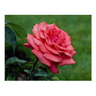 Lovely Hybrid Tea Rose 'Fragrant Cloud' Postcard