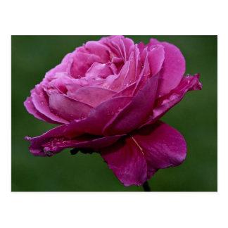 Lovely Hybrid Tea Rose 'Heirloom' Postcard
