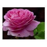 Lovely Hybrid Tea Rose 'Heirloom' Postcards