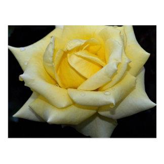 Lovely Hybrid Tea Rose 'Helmut Schmidt' Postcard