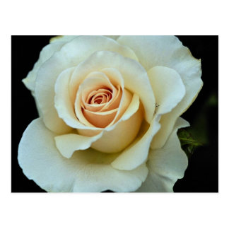 Lovely Hybrid Tea Rose Postcard