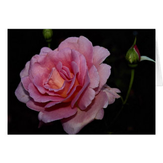 Lovely Hybrid Tea Rose 'Tiffany' Greeting Card