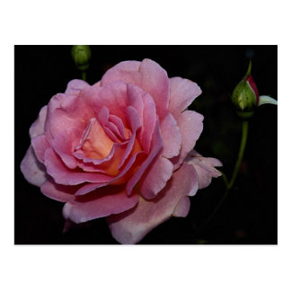Lovely Hybrid Tea Rose 'Tiffany' Postcard