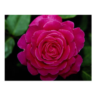 Lovely Hybrid Tea Rose 'Tiffany'leaves Postcard