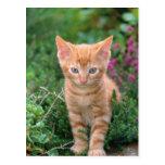 Lovely Kitten 7 Postcard
