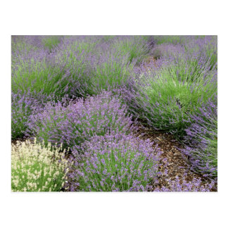 Lovely Lavender Postcard