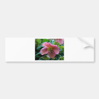 Lovely Lenten Rose Bumper Sticker