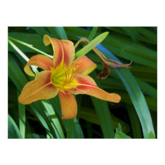 Lovely Lily Photography For Sale Poster