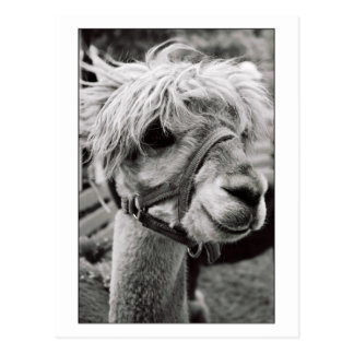 Lovely Llama Postcard