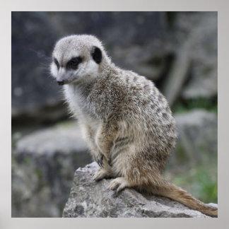 lovely meerkat posters