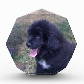 Lovely Newfie puppy (Newfoundland dog breed) Awards