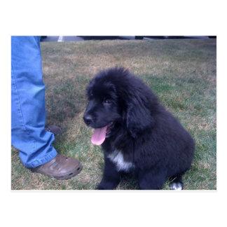 Lovely Newfie puppy (Newfoundland dog breed) Postcard